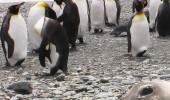 pingvini-i-foka