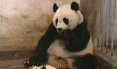 the-sneezing-baby-panda