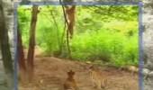 majmun-i-tigrici